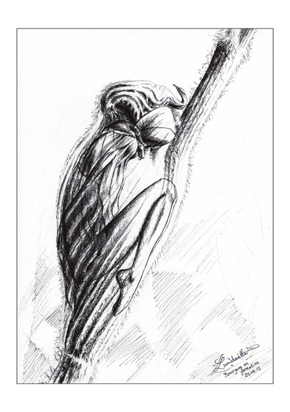 dessin fée Bourgeon
